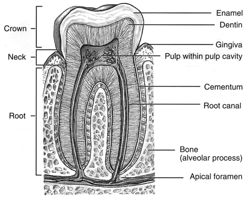 human teeth diagram labeled